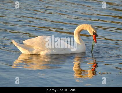 A beautiful adult Mute swan floats in a Long Island harbor. The bird's reflection is slightly blurred by wavelets in the water. (Cygnus olor) - Stock Photo