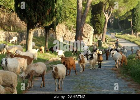 ANCIENT APPIA WAY, ROME, 12 September 2018 - Many sheeps crossing the ancient Appian way in Rome. - Stock Photo