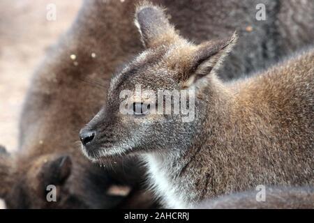 Rock-wallabies  Petrogale - Stock Photo