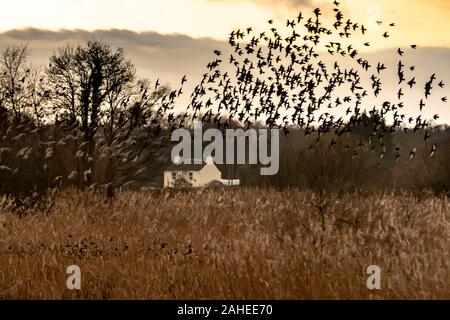 UK Weather: Christmas Eve evening starling murmuration at Ham Wall RSPB reserve, part of Avalon marshes wetlands nature reserve in Somerset, UK.