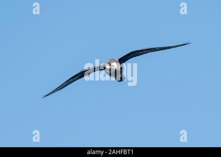 Eleonorenfalke, Falco eleonorae, Eleonoras Falcon - Stock Photo