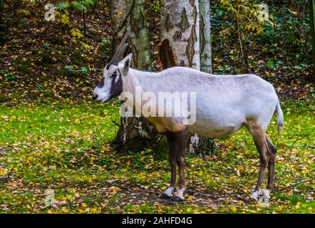 portrait of a white arabian oryx standing in the pasture, tropical antelope specie from Arabia - Stock Photo