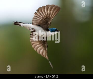 Swallow bird flying exposing its spread wings, body, beak, eye, head, feet, wings, tail with a bokeh background. - Stock Photo