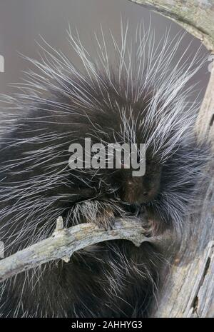 Porcupine (Erethizon dorsatum) Quehanna Wild Area, Moshannon State Forest, Pennsylvania. - Stock Photo