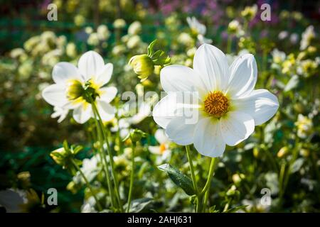 Single white flowers of Dahlia Daisy in early Autumn in UK - Stock Photo