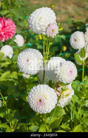 White Ball-type Dahlia Josie Gott flowering in early Autumn in UK - Stock Photo