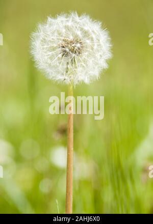 Löwenzahn, Pusteblume, Samen, Taraxacum officinale, Blume, Pflanze,