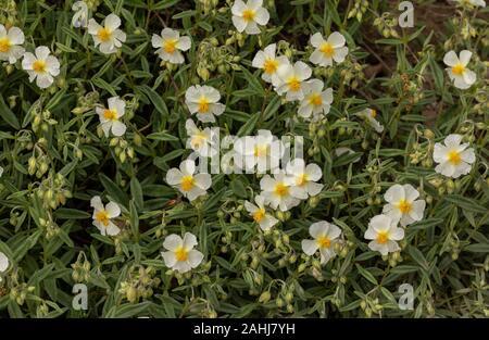 White rock-rose, Helianthemum apenninum, in flower. Uk rarity.