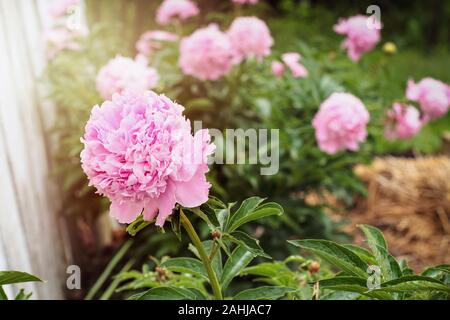 Garden of beautiful blooming pink Peony plants against a white fence. Selective focus on flower in foreground with blurred background. - Stock Photo