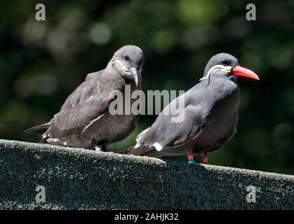 Inca Terns (larosterna inca) juvenile and adult - Stock Photo