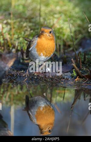 Rotkehlchen, Erithacus rubecula, Robin - Stock Photo