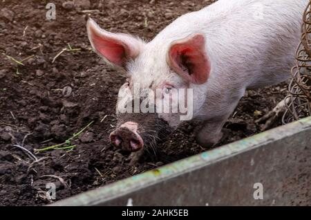 Pig with dirty snout in  pen on black ground. - Stock Photo