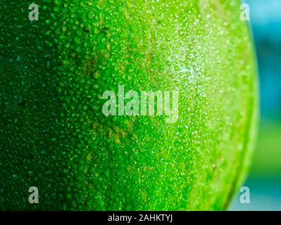 In this shot on a early morning in Florida, you will see dew collected on a very vibrant unripe green papaya fruit. - Stock Photo