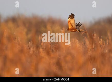 Male Marsh Harrier (Circus aeruginosus) carrying prey in it's talons over Oxfordshire reedbed - Stock Photo