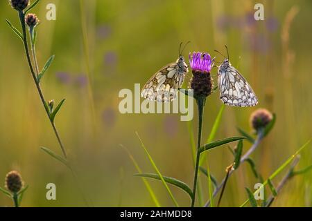 Male and female Marbled White Butterfly Melanargia galathea on chiltern hills Bucks - Stock Photo