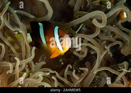 Clownfish or anemonefish are fishes from the subfamily Amphiprioninae in the family Pomacentridae