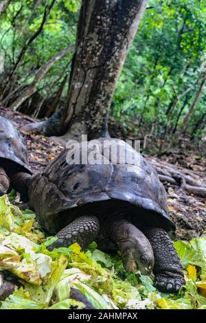 The Aldabra giant tortoise (Aldabrachelys gigantea) on Prison Island, Zanzibar, Tanzania, East Africa - Stock Photo