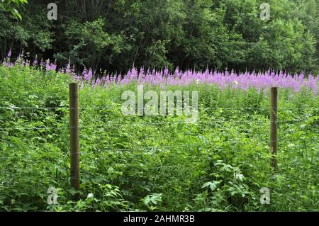 Field of rosebay willowherb Chamerion angustifolium flowering with pink flowers by a fence - Stock Photo