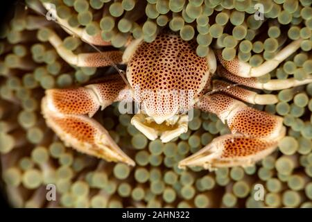 Porcelain crab from the Indo-Pacific region, Neopetrolisthes maculatus