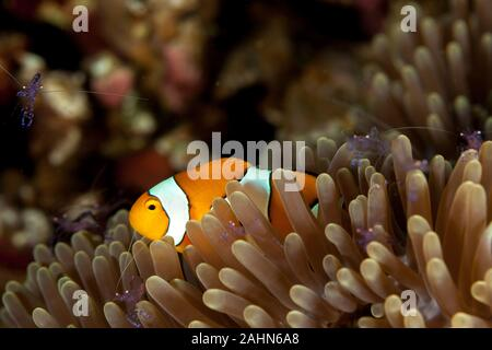 The ocellaris clownfish (Amphiprion ocellaris), also known as the false percula clownfish or common clownfish