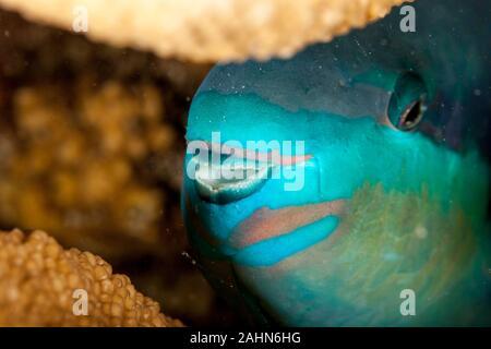 Indian Ocean Steephead Parrotfish, Heavybeak Parrotfish, Purple-headed Parrotfish, Steephead Parrotfish, Chlorurus strongylocephalus, scarus strongylo - Stock Photo