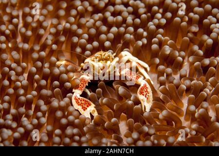 Neopetrolisthes maculatus is a species of porcelain crab from the Indo-Pacific region