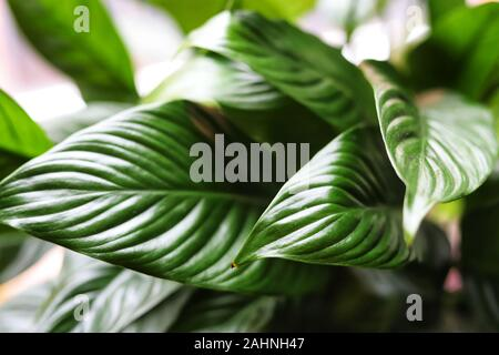 A close up image of a leaf on a peace lily plant - Stock Photo