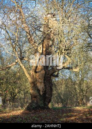 Ancient sweet chestnut tree, Castanea sativa, with bare winter branches against a blue sky - Stock Photo