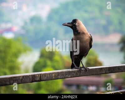 House Crow, Colombo Crow, Ceylon Crow on Metal Railing - Stock Photo