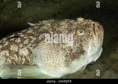 Whitemargin stargazer is a fish of family Uranoscopidae, widespread in the Indopacific: Red Sea, Indonesia, Fiji, Samoa, and Tonga, Uranoscopus sulphu