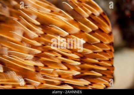 Closup on twin fan worm or spiral fan worm Bispira volutacornis - Stock Photo
