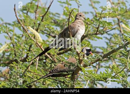 Namaqua Dove (Oena capensis capensis) pair perched in tree  Murchison Falls National Park, Uganda            November - Stock Photo