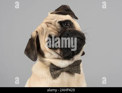 Male, Pug puppy, UK - Stock Photo