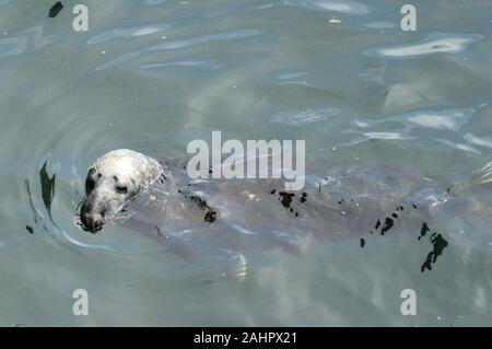 Grey Seal, 'Halichoerus grypus', Isle of May, Scotland - Stock Photo