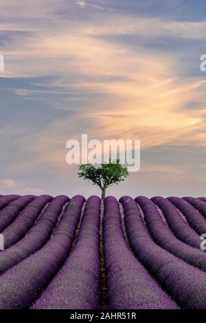 Lone tree in a lavender field, Valensole, France