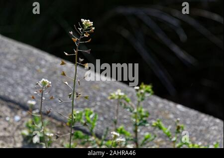 A sunlit plant, shepherd's purse grows along the side of a path - Stock Photo
