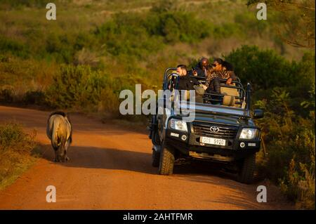 Tourists in game drive vehicle watching a lion, Panthera leo, Gondwana Game Reserve, South Africa - Stock Photo