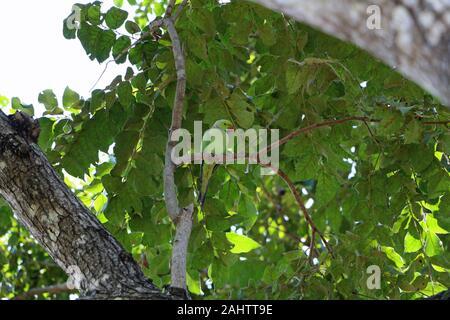 green parrot in Polonnaruwa in Sri Lanka travel - Stock Photo