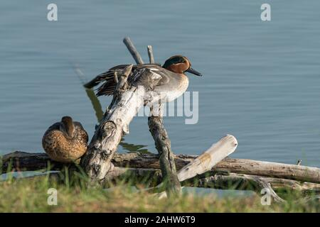 A Eurasian Teal (Anas crecca) resting on a piece of wood near water