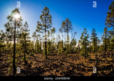 Spain, Tenerife, Volcanic lava nature landscape of the island, covered by green conifer trees above the clouds in the mountain area of caldera near te - Stock Photo