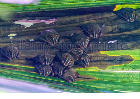 Group of Tent-making Bat (Uroderma bilobatum) roosting in a palm frond, taken in Costa Rica - Stock Photo