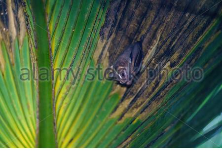 Tent-making Bat (Uroderma bilobatum) roosting in a palm frond, taken in Costa Rica - Stock Photo