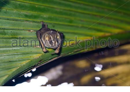 Tent-making Bat (Uroderma bilobatum) roosting in a palm frond, taken in Costa Rica - Stock Photo