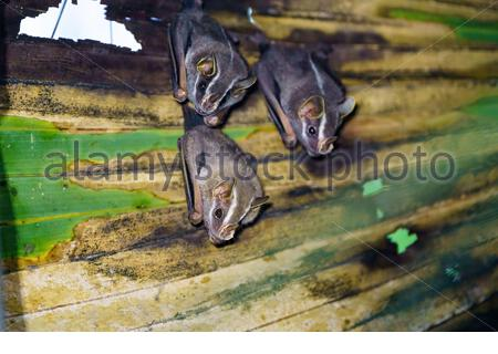 Three Tent-making Bat (Uroderma bilobatum) roosting in a palm frond, taken in Costa Rica - Stock Photo