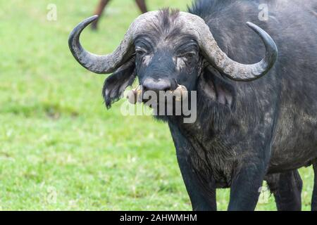 Red-billed Oxpecker feeding on ticks on the back of a cape buffalo in the plains of Africa inside Masai Mara National Reserve during a wildlife safari