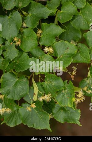 Large-leaved Lime, Tilia platyphyllos in flower. - Stock Photo