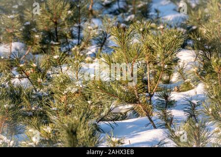 Green young pine trees covered in white snow. Winter natural background. - Stock Photo