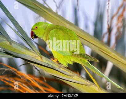 The rose-ringed parakeet (Psittacula krameri), also known as the ring-necked parakeet, feeding on the date palm, Beer Sheva, Israel - Stock Photo