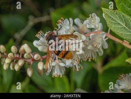Hornet Hoverfly, Volucella zonaria, feeding on garden shrub,  sweetpepperbush, Clethra alnifolia, Dorset. UK's largest hoverfly. - Stock Photo