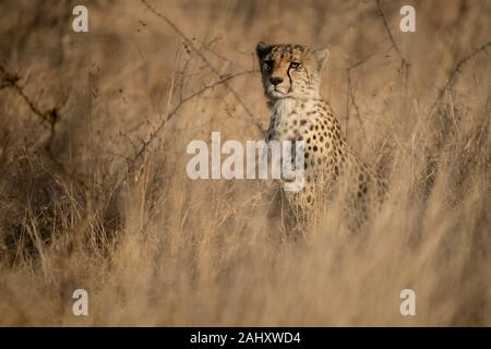 Cheetah, Acinonyx jubatus, Zimanga Game Reserve, South Africa - Stock Photo